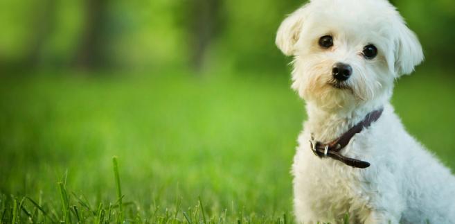 pies, maltańczyk