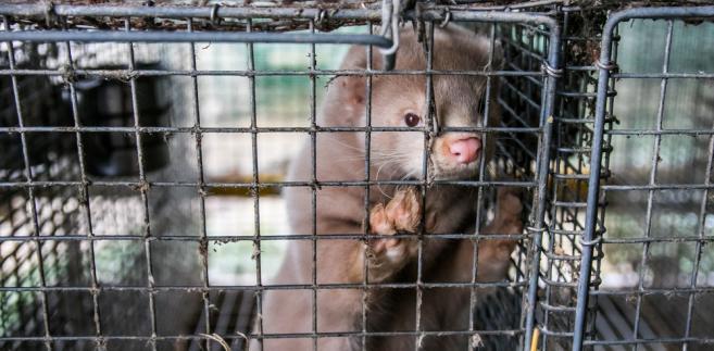 Niewola w klatce, otwarte, ropiejące rany, choroby układu nerwowego – to codzienność zwierząt z futrzarskich ferm.